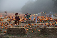 Shrouded in early morning fog and patroled by scarecrows, a pumpkin field in Half Moon Bay, California.