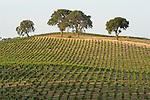 Red and white wine grapes, late afternoon, Votaw Road, Shenandoah Valley, Amador Co., Calif.