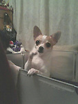 Chihuahua Twinkie dob 2008<br />