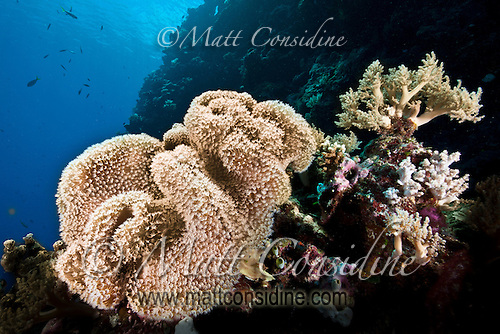 Large convoluted soft leather coral (filter feeder) sways gently in the current, Palau Micronesia. (Photo by Matt Considine - Images of Asia Collection) (Matt Considine)