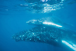 Sea of Cortez, Cabo San Lucas, Mexico; a mother humpback whale helps bring her calf to the surface for a breath of air