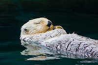 California Sea Otter (Enhydra lutris nereis) (c) (do)