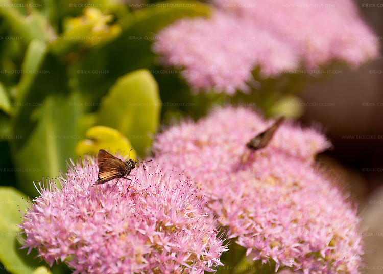 Butterflies investigate flowers in the garden at Hillsborough Vineyards.
