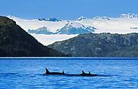 Orcas (Killer Whales) surface along the western edge of Knight Island, Knight Island passage, Chugach mountains, Prince William Sound, Alaska