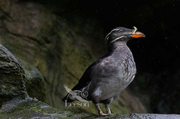 Rhinoceros Auklet or rhinoceros puffin (Cerorhinca monocerata).  Seabird.  Close relative of puffins.  Oregon Coast.