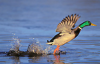 Mallard drake lifting off. Autumn. North America..(Anas platyrhynchos).