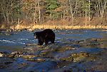 Black Bear (Ursus americanus) - Minnesota, in river, controlled situation.USA....
