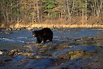 Black Bear (Ursus americanus) - Minnesota, in river, controlled situation.USA....
