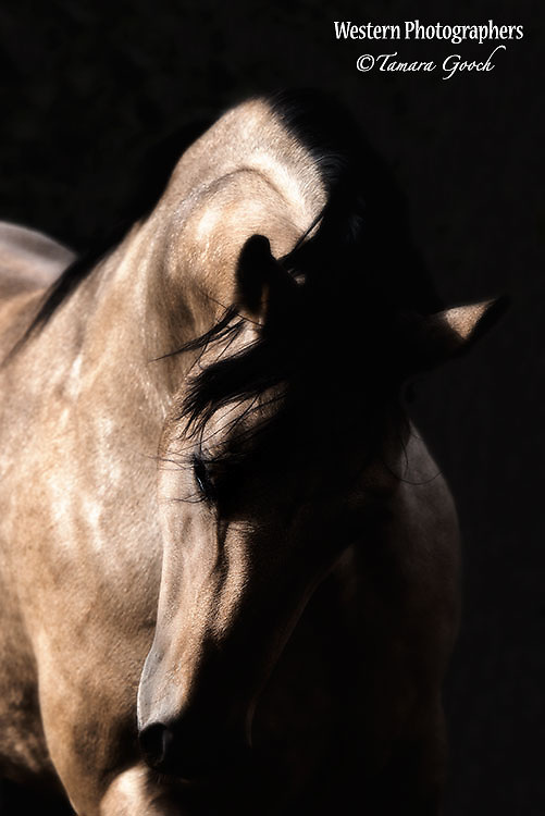 A fine art photograph of a buckskin quarter horse stallion.