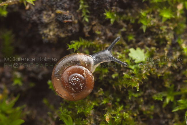 A Quick Gloss (Zonitoides arboreus) snail moves slowly on the side of a moss covered tree.
