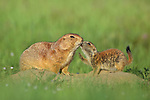 Prairie Dog with baby.