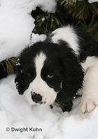 SH25-539z English Springer Spaniel puppy playing in the snow