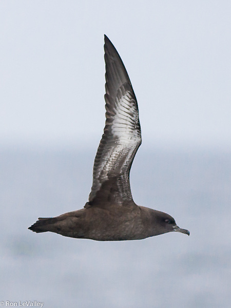 Sooty Shearwaters are distinguished by the silvery wing linings.