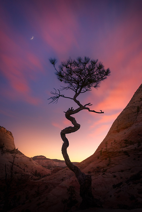An old corkscrew tree is silhouetted by the night sky and glow from the rising sun.