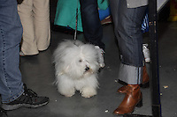 A visiting Coton de Tuleard at the international dog Show in Prague, may 2014.