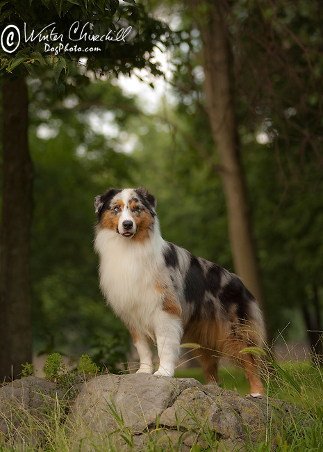 Australian Shepherd <br />
