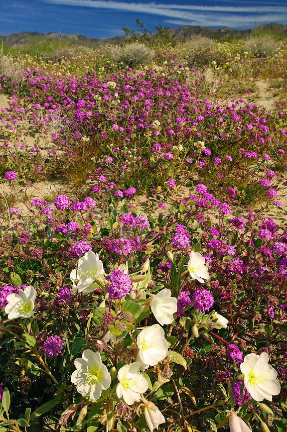 Sand Verbena (Abronia villosa) and Dune Evening Primrose (Oenothera deltoides) on sand dunes near Arroyo Salado, in Anza-Borrego Desert State Park, California