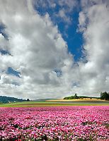 Flower fields. Clackamas County, Oregon