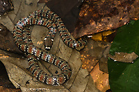 Espécie: Hydrops martii<br /> .<br /> .<br /> Imagem feita em 2017 durante expedição científica para a região do Lago Tefé, Tefé, Amazonas, Brasil. A expedição, financiada pelo  Conselho Nacional de Desenvolvimento Científico e Tecnológico, teve o abjetivo de reencontrar espécies de anfíbios descritas pelo explorador Johann Baptist von Spix no ano de 1824.