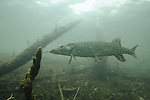Northern Pike (Esox lucius) scuba diving underwater photography MN