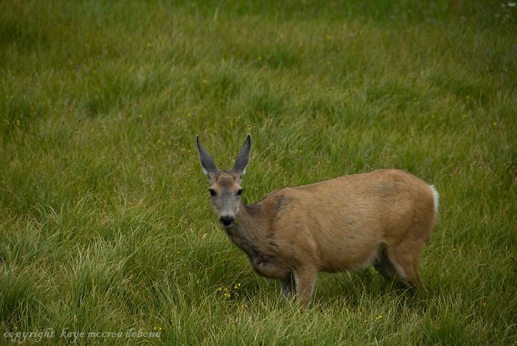 Yellowstone Mule Deer or Black Tail Deer