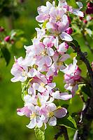 Italy, South Tyrol (Trentino - Alto Adige), Val Venosta: Apple blossom   Italien, Suedtirol (Trentino - Alto Adige), Vischgau: Apfelbluete