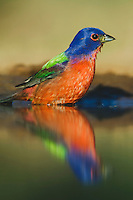 Painted Bunting, Passerina ciris, male bathing, South Texas, USA