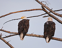 Pair of Bald Eagles perched on limb.  One is facing away from camera