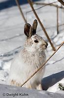 MA19-570z  Snowshoe Hare, winter coat, Lepus americanus