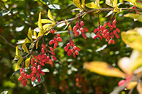 Gewöhnliche Berberitze, Berberitze, Echte Berberitze, Sauerdorn, Berberis vulgaris, Barberry, Common Barberry, European barberry, Le Vinettier, l'Épine-vinette