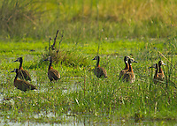 Egyptian Geese in the Okavango Delta, Botswana Africa