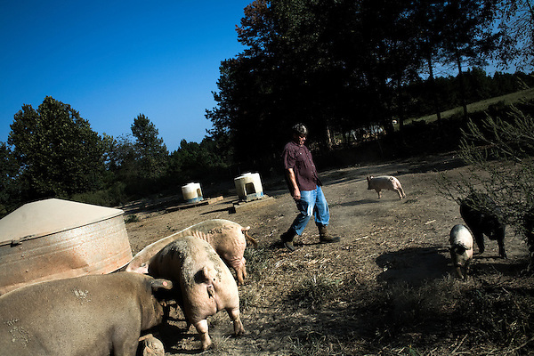 September 13, 2007, Louisburg, NC..Michael Jones, owner of Mae Farms, a sustainable hog farm. Jones checks the feed levels in one of the many hog pens on his farm. The hogs eat a combination of naturally growing vegetation and chemical free hog feed.