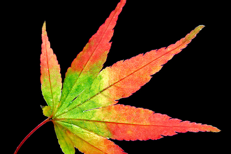 Japanese maple leaf in fall color.