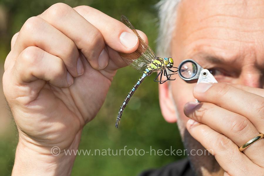 Libellen-Bestimmung, gefangene Libelle wird vorsichtig zwischen zwei Fingern gehalten und mit einer Lupe, Einschlaglupe untersucht, Entomologie, Biologie, Freilanduntersuchung, Zoologie, entomology, biology, zoology. Blaugrüne Mosaikjungfer, Blaugrüne-Mosaikjungfer, Männchen, Aeshna cyanea, Aeschna cyanea, blue-green darner, southern aeshna, southern hawker, blue hawker, male, L'Æschne bleue