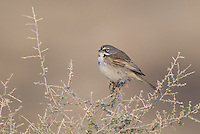 578830010 a wild sage sparrow amphispiza belli nevadensis perches on a sagebrush plant stem in kern county  california