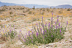 Anza-Borrego Desert State Park, Borrego Springs, California; a group of purple flowering Arizona Lupine (Lupinus arizonicus) plants growing on a rocky hillside