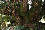 The Defynnog Yew tree in St Cynogs churchyard near Sennybridge Powys Wales UK. This five thousand year old tree is probably the oldest living tree is Europe.