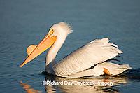 00671-009.05 American White Pelican  (Pelecanus erythrorhynchos)   Riverlands Environmental Demonstration Area,  MO