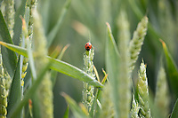 Ladybird on winter wheat <br /> ©Tim Scrivener Photographer 07850 303986<br />      ....Covering Agriculture In The UK....