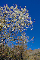 Trees flowering in springtime in the Alpujarras mountains, Andalusia, Spain.