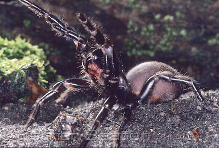 Sydney Funnelweb (Atrax robustus) close up of fangs during pause in series of attacks. Female