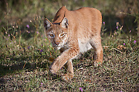 Siberian Lynx stalking through the grass and wildflowers - CA