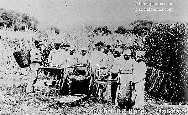 Slavery in Brazil. Coffee plantation. 19th Century. Reproduction.