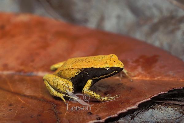 YELLOW MANTELLA..Native to eastern Madagascar..Captive. (Mantella crocea).