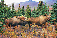 Bull Moose scents for cow's readiness to mate during the rut, Denali National Park, Alaska
