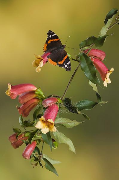 Red Admiral, Vanessa atalanta, adult on Cross Vine (Bignonia capreolata), Uvalde County, Hill Country, Texas, USA
