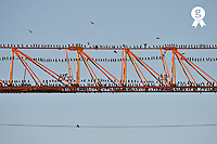 Flock of birds perching on construction crane (Licence this image exclusively with Getty: http://www.gettyimages.com/detail/110048311 )