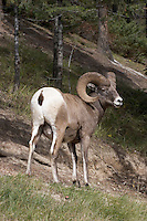 Bighorn Sheep Ovis canadensis Shoulder height 90-100cm Stocky North American sheep, noted for the male's large horns.  Found in mountain ranges of western North America.