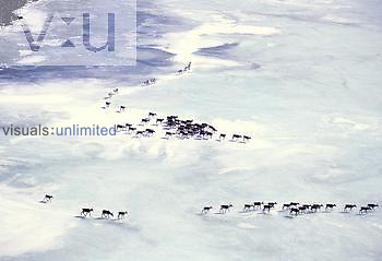 Caribou migrating across snow in the Alaska spring (Rangifer tarandus).