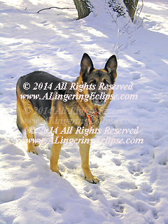 AKC German Shepherd standing in the sunlit snow with an inquiring gaze.